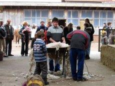 Verschiedene Aktionen rund um Wolle finden den jährlichen Schafschurtagen statt.
